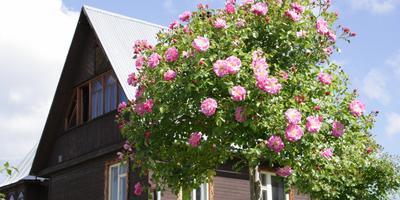 Розы на штамбе: как выбрать, куда посадить, как ухаживать