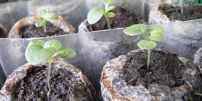 Петунии. Выращивать с пикировкой или без?