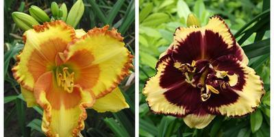 Почему вашему саду нужны лилейники: 6 главных аргументов