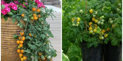 Секреты и тонкости выращивания рассады томатов