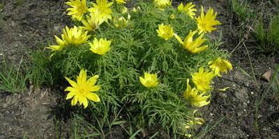 Адонис, или горицвет: дикорастущие виды и выращивание в саду