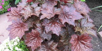 Как вырастить гейхеру из семян