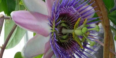 Цветок страстной недели. Пассифлора синекрылая, или страстоцвет
