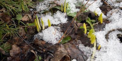 Кто морозов не боится, или Самые ранние садовые радости
