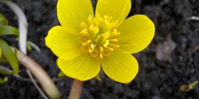 Эрантис, или весенник: опыт выращивания и размножения
