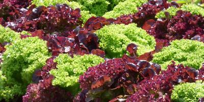 Особенности выращивания зеленных овощных культур