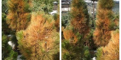 Реанимируем хвойные растения после солнечных ожогов