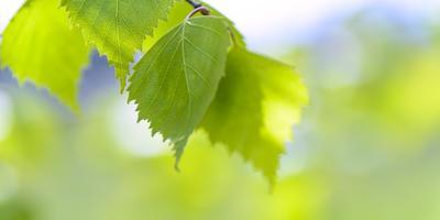Рецепты здоровья: березовый лист для пользы тела