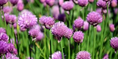 Рецепты здоровья: шнитт-лук - огородный лекарь и косметолог
