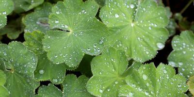 Рецепты здоровья: манжетка обыкновенная - женская трава