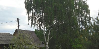 То березка, то рябина... Лесные деревья на дачном участке