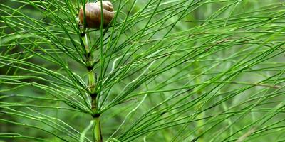 Рецепты здоровья: хвощ полевой - целебная трава для женщин