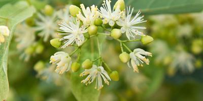 Рецепты здоровья: липовый цвет от простуды и кашля