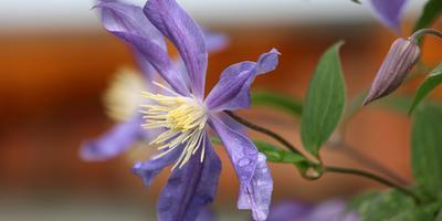 Клематис - король лиан: выращивание, виды, сорта