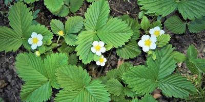 Рецепты здоровья: лечебные свойства листьев земляники