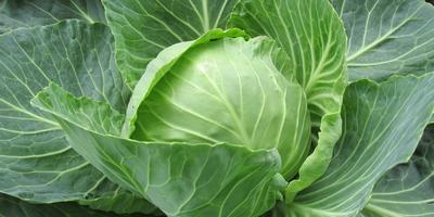 Рецепты здоровья: капуста от ангины и простуды