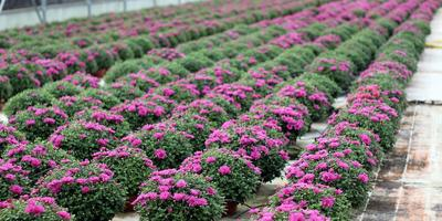 Хризантема мультифлора - настоящая королева осени