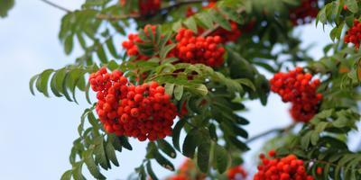 Рябина - дерево счастья