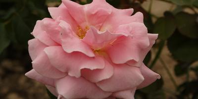 Розы Meilland: французский шарм