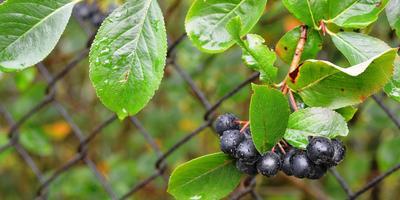 Коварная арония. Полезные свойства черноплодной рябины и противопоказания к ее употреблению