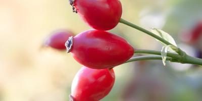 Польза и вред шиповника, его целебные свойства и противопоказания