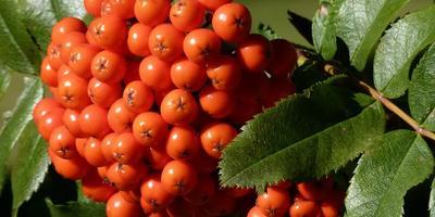 Рецепты здоровья: ягоды рябины для укрепления иммунитета