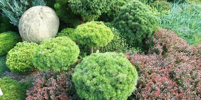 Хвойные миниатюры. Карликовые сорта хвойных растений и особенности их выращивания