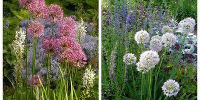 В огороде - лук, в цветнике - аллиум