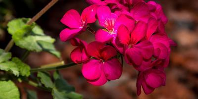 Необычная пеларгония, или привычная герань. Посадка в саду и уход