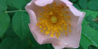 Переродилась  роза