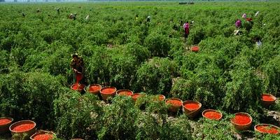 Как вырастить ягоды годжи у себя на участке