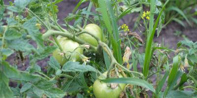 Случайный эксперимент с помидорами