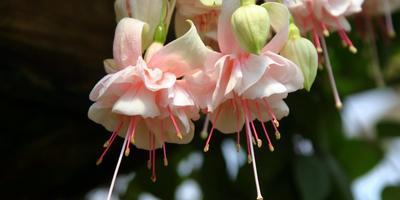 Фуксия в саду: миф ли реальность?