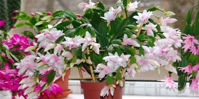Шлюмбергера, она же рождественский кактус, декабрист, зигокактус