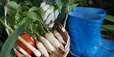 Выращиваем белый редис