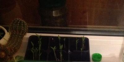 """Растим кустовые томаты """"Желтая жемчужина"""""""