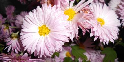 """""""Отцвели уж давно хризантемы в саду..."""""""