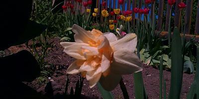 Тюльпаны и нарциссы - красивые цветы с мифическими именами