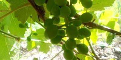 Виноград: в первый раз в огороде у нас