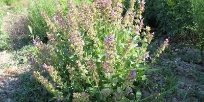 Шалфей лекарственный – трава долголетия