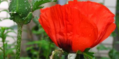 11 ядовитых растений - опасная красота на даче