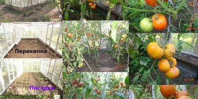 Помидор-главный овощ на даче.