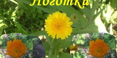 Календула - нужный и полезный цветок на даче