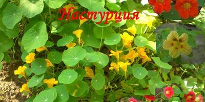 Настурция - красота и защита в саду
