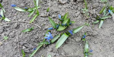 Первые цветочки у меня в садочке