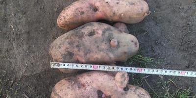 Картофель на даче.