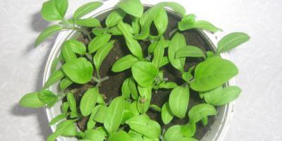 Как я выращивал баклажаны (синенькие)