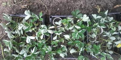 Как я выращиваю рассаду земляники