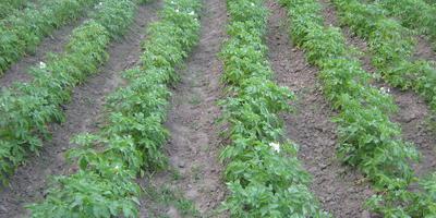 Как я выращиваю картофель к майским праздникам
