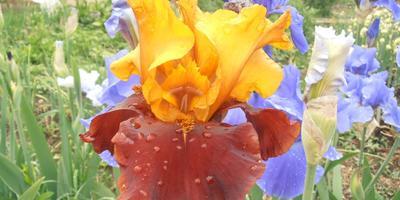 Ирис - король цветов, которого любят все